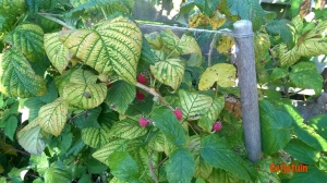 herfstframboosplant2015
